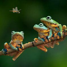 Cute frogs looking at tear dinner ribet, ribet  ♡♡♡