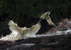 Sabakoe vogel in Suriname