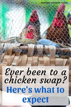 Have you ever been to a chicken swap? I have been to many and let me tell you, it's more of a buy-sell-trade than a swap. There's also more than just chickens, including ducks, turkeys, geese, guinea fowl and even rabbits! Here is what to expect at your first poultry swap whether it be at TSC or other feed store. Cute Chickens, Backyard Chickens, Raising Chickens, Chicken Story, Chicken Pictures, Guinea Fowl, Chicken Humor, Chicken Eggs, Coops