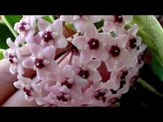 Lacrima Maicii Domnului, Floarea Care Produce Mir In Mod Natural Pinterest Garden, Garden Windows, Ikebana, Floral, Nature, Flowers, Arsenal, Youtube, Gardening