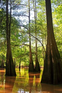 Atchafalaya Swamp, Louisiana, USA- Explore this place known worldwide for its lush beauty and breathtaking wildlife. It's the largest swamp in North America Louisiana Swamp, Louisiana Usa, Cypress Swamp, Cypress Trees, Florida Living, South Florida, South Carolina, Francis Hallé, Beautiful World