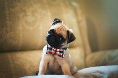 Little pug!!!