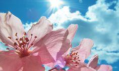 Fiori che resistono al sole per balcone, terrazzo e giardino. Petunia, Surfinia, Tagetes, Nasturzio (Tropaeolum majus), Papavero, Verbena, girasole (Helianthus annuus)