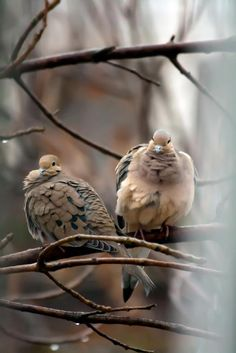 peaceful doves and their music