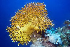 """FIRE CORAL: It can give a very painful sting from the nematocysts if it is accidentally brushed against. The """"fronds"""" look soft like seaweed but are actually stiff, which can cause unwary divers to have an unpleasant and unexpected accident with it."""