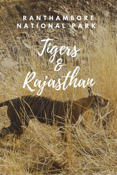 Want to know the best place to spot Tigers? Check out the Ranthambore National Park Tigers in Rajasthan, India for an incredible up-close encounter!