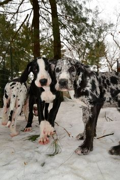 Cutie pies at the Service Dog Project. These Great Danes will be amazing balance assistance dogs one day!