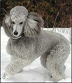 BIBELOT Standard Poodles - Silver standard poodles - Photo Gallery.