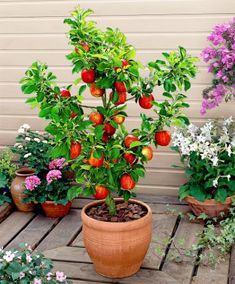 dwarf apple tree! These are awesome small trees with real size apples!