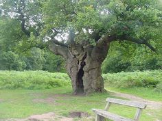 Richmond Park Oak tree 600 - 700 years old !