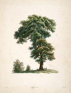 La botanique de J.J. Rousseau: ornée de soixante-cinq planches, imprimées en couleurs d'après les peintures de P.J. Redouté. Paris, 1805. BHL