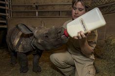 bottle-fed baby rhino