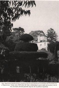 El tejo de los Tenreiro. La historia del árbol corre pareja a la degradación natural del paisaje de Pontedeume, en A Coruña (Spain).