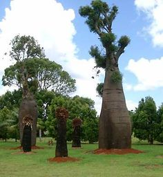"""Brachychiton rupestris  """"Queensland Bottle Tree""""Some Dr.Seus action if you ask me =)"""
