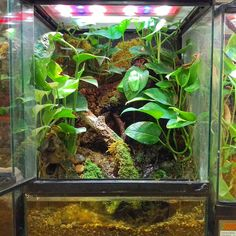 Red-eyed tree frog terrarium. DIY this terrarium with a 18x18x24 Zoo Med Terrarium, Zoo Med's Waterfall Kit, Cork Flats, Terrarium Moss, Mopani Wood, and live plants of your choosing.
