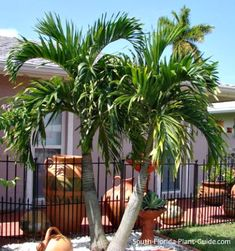 Adonidia Palm - Veitchia merrillii, Adonidia merrillii - Height 10-12 ft plant 5-6 ft from house to avoid damage to fronds
