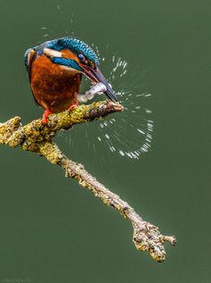 common kingfisher by Ali Abdulraheem on 500px
