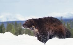 Wolverines Can Fight Grizzlies But They Can't Fight Climate Change    Wolverine has been one of the most difficult mammals to accurately obtain a census and to study. I have been against the practice of trapping wolverines for this reason for years. I would hope that listing them as endangered would stop the needless killing of a seriously under-studied animal. It is simply irresponsible to hunt any creature with little data on its actual population status especially if it is decreasing.