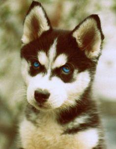 Fancy - Alaskan Malamute Puppy @KaufmannsPuppy
