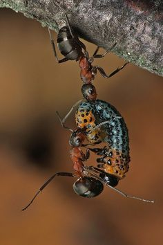 #ants with #caterpillar Norbert Borowiec. #insect