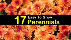 17 Easy to Grow Perennials for a Blossoming Backyard-Article with a detailed list of 17 easy to grow low maintenance perennials. For a long blooming flowering and ground covering greens. Suitable to be planted in pots or containers. Hardy Perennials, Flowers Perennials, Planting Flowers, Flowering Plants, Hardy Plants, Flower Gardening, Flowers Garden, Autumn Garden, Summer Garden