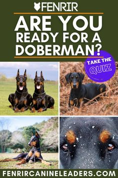 Always wanted a Doberman but not sure if you're ready for one? Take our free quiz, dive into the results and help you find your perfect dog! More at Fenrir Canine Leaders and Fenrir Canine Show. German Dog Breeds, Giant Dog Breeds, Giant Dogs, Doberman Dog Breed, Weimaraner, Best Dogs For Families, Family Dogs, Best Guard Dogs, Giant Schnauzer