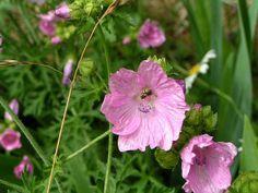 Moschus-Malve (Malva moschata) Mauve, Growing Herbs, Plantation, Happy Colors, Beets, Garden Plants, Beautiful Flowers, Rose, Grande