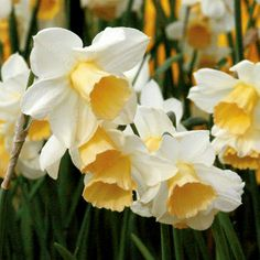 Narcissus 'WATERPERRY' - (Daffodils) - Have some of these, excited to see them come spring.