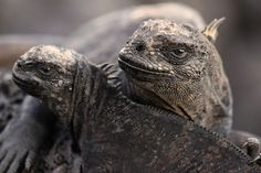 Reptiles Iguanas found in Galapagos- Sign me up to go!!!