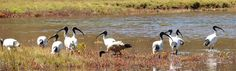 Saltmarsh is a productive habitat which contributes to water quality as well providing habitat for birds, fish and invertebrates Water Quality, Habitats, Birds, Fish, Animals, Animales, Animaux, Bird, Animal Memes