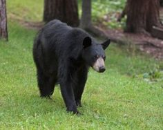 Lily the Black Bear 7-13-15  such a sweet beauty