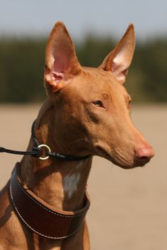 The Pharaoh Hound - one of the most ancient breeds and one of the most graceful looking. They are just beautiful!