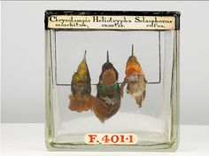 Three species of hummingbird, collected in the late 19th century.