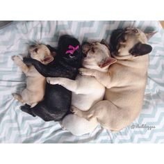 'Spooning' Stack of French Bulldogs.