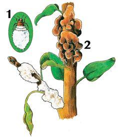 kirschessigfliegen mit fallen bek mpfen pflanzenschutz pinterest pflanzenschutz pflanzen. Black Bedroom Furniture Sets. Home Design Ideas