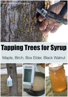 Trees for Syrup Tapping trees for syrup is a simple and rewarding process to put sugar and sweeteners into the homegrown pantry.Tapping trees for syrup is a simple and rewarding process to put sugar and sweeteners into the homegrown pantry. Homestead Farm, Homestead Survival, Survival Prepping, Survival Skills, Survival Gear, Homestead Living, Survival Shelter, Outdoor Survival, Emergency Preparedness