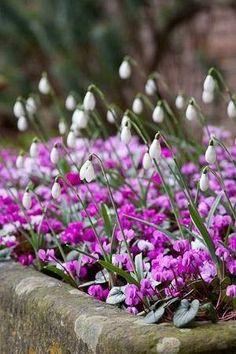 sneeuwklokjes en cyclamen voor kleur in de wintertuin. Zet ze bij de deur, dan geniet je er het meest van.