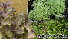 Different types of basil.