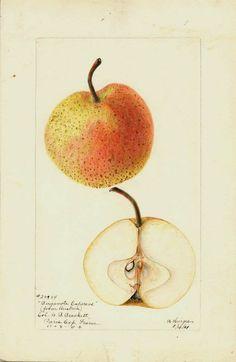bergamote.esperens.jpg (634×975) Artist: Bertha Heigges. From Austria. Sent by Col. G.B. Brackett, Paris Exposition, France, December, 1900, 1/14/1901