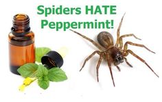 Keep those spiders outside where they belong!  I fill a 4 ounce glass spray bottle with water and add about 10 drops of doTERRA peppermint oil and spray it along the edges of my front door, along the frame, etc. once a week or so. It not only smells great it keeps these guys out! I don't want to kill them and this is a natural, harmless alternative to pesticides.