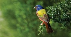 The most colorful bird in the United States calls North Carolina home. Birds And The Bees, Kinds Of Birds, All Birds, Best Family Vacation Spots, Painted Bunting, Bird House Kits, Bird Aviary, North Carolina Homes, Southern Girls