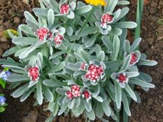 Helichrysum amorginum 'Ruby Cluster' • Strawflower • hardy to 10 degrees, full sun, pinkish red bloom mid spring to early summer, silver gray foliage, drought tolerant, suitable for xeriscapes