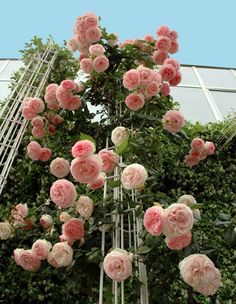Midview Of Climbing Pierre De Ronsard Roses In Bloom. This Variety Is Rated  Above An By The American Rose Society. These Resilient Flowers Prefer Full  Sun ...