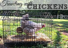 Traveling (or Moving) with Chickens   Fresh Eggs Daily