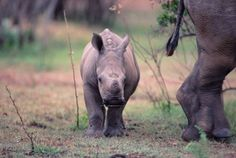 """Funny Talking Animals: Call of the Wild - Baby Rhino """"I'll save you mom""""..."""