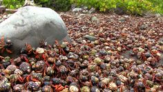 Hermit Crab Migration - Amazing Earth