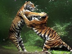 A couple of tigers brawling