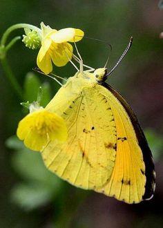 Yellow Sulphur Butterfly by Travis Truelove nature Butterfly Kisses, Butterfly Flowers, Yellow Flowers, Yellow Plants, Butterfly Wings, Beautiful Bugs, Beautiful Butterflies, Flying Flowers, Moth Caterpillar