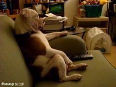 Bulldog Watching TV