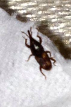 Order Coleoptera Family Dryopthoridae Sitophilus oryzae Grain or Rice weevil
